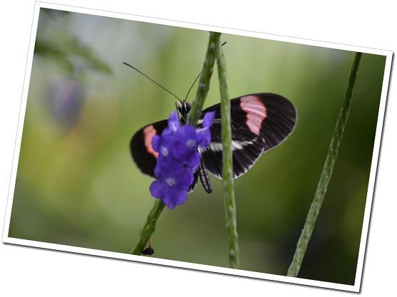 Butterfly5BP